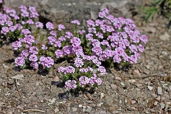Sivutka (Aethionema schistosum) patří ke stálezeleným skalničkám.