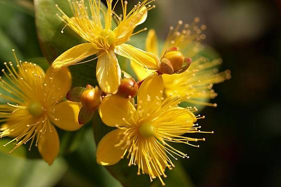 Květy třezalky tečkované jsou krásné i léčivé