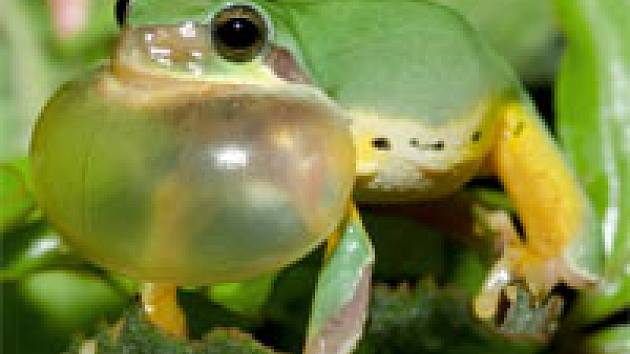 Hyla chinesis - stromová žába