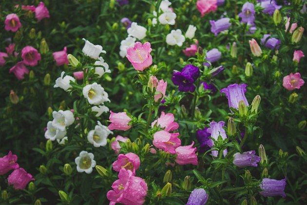 Zvonek prostřední můžete pěstovat s květy modrými, bílými i růžovými