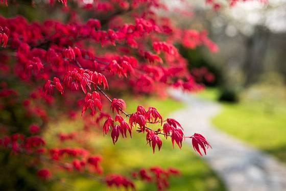 Okrasný javor v japonské zahradě.