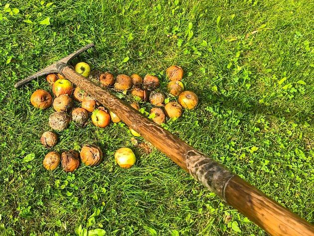 Napadená jablka průběžně likvidujeme.