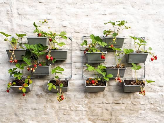Jahody lze pěstovat i v truhlících zavěšených na kovových mřížích.