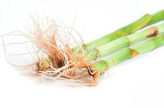 Dračinec pruhovaný (Dracaena sanderiana), známý jako Lucky Bamboo, snadno zakoření ve vodě.
