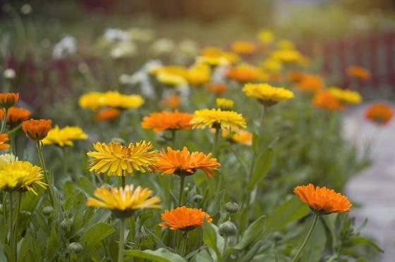 Měsíček můžeme pěstovat v kultivarech žlutých, oranžových, měděných...