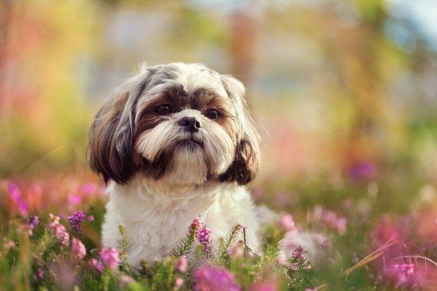 Shih-tzu je starobylé plemeno společenských psů, které patří k  nejroztomilejším.