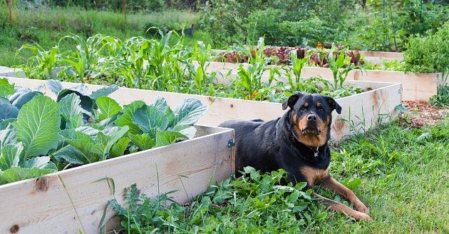 Psi někdy sami ujídají ovoce a zeleninu, protože ví, co je pro ně dobré