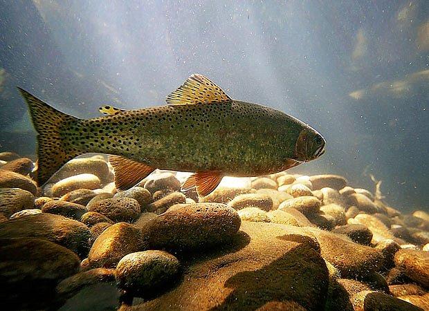 Ze sladkovodních ryb, které nejsou tepelně upravené, lze vzácně získat i tasemnici.