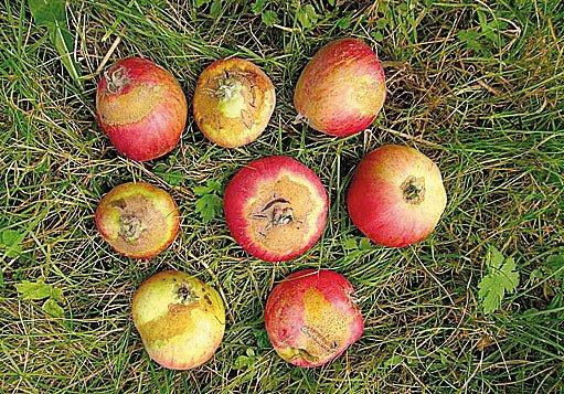 rzivost jablek
