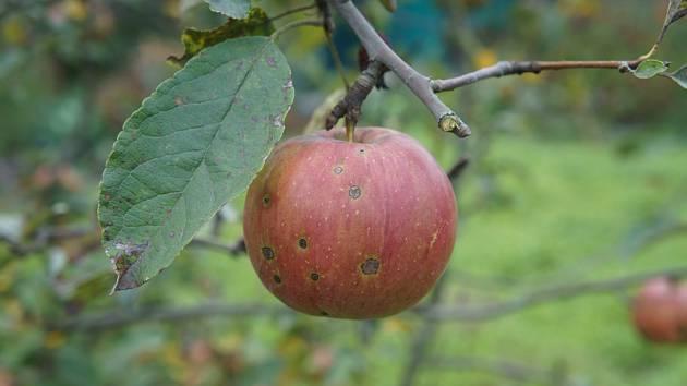 Skvrnitost jablek