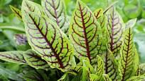 Jedlý šťovík krvavý je ozdobou zeleninových i trvalkových záhonů