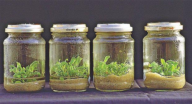pěstování ve sterilním prostředí