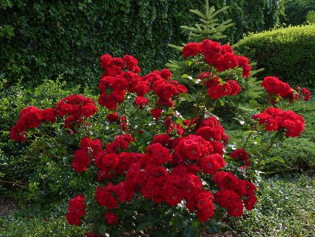 Keřová růže Roter Korsar