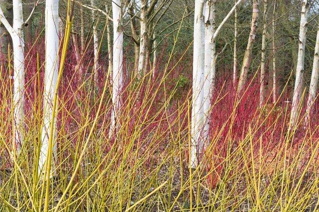 Bílé břízy a barevné svídy - zahrada může být barevná i v zimě.