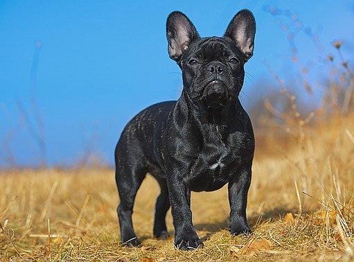 francouzský buldoček je dobře stavěný pes