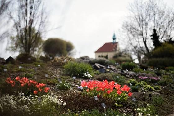 Botanické zahradě v pražské Troji vévodí na jaře cibuloviny.