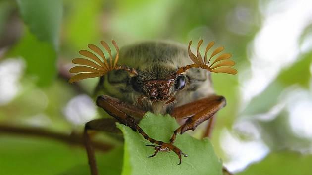 Chroust obecný (Melolontha melolontha).