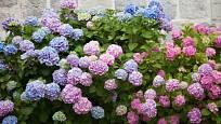 Hortenzie velkolistá (Hydrangea macrophylla) - barevnost květenství určuje přítomnost hliníku v půdě.