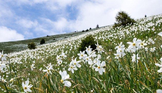 narcis bilý (Narcissus poeticus) vytváří v přírodě zjara úchvatné rozkvetlé louky