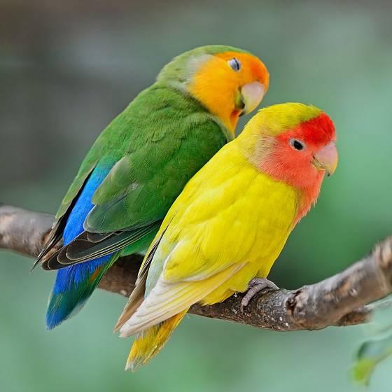 Papoušíci jsou okouzlující ptáci, které zvládne chovat i začátečník