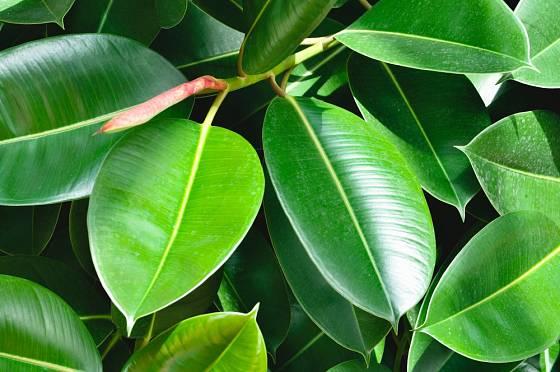 Fíkovník pryžodárný (Ficus elastica)