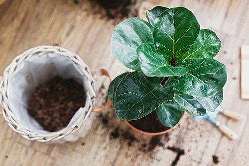 Fíkus Lyrata (Ficus lyrata)