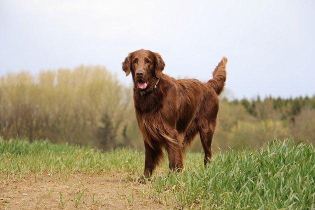 Flat coated retrívr pochází z britského chovu a je považován za nejelegantnějšího z retrívrů. Je to aktivní, přátelský a sebejistý pes.