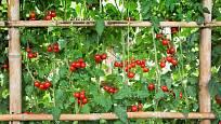 Netradiční opora pro rajčata, síť na konstrukci