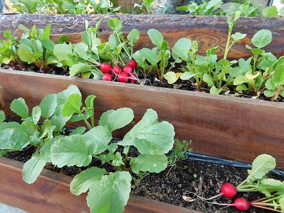 Ředkvičky můžeme pěstovat i na balkoně.