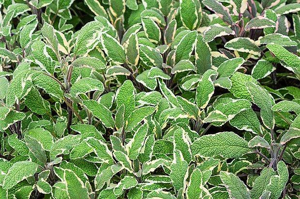 Pestrolisté kultivary šalvěje jsou velmi ozdobné
