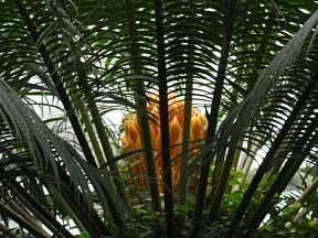 Cykas indický