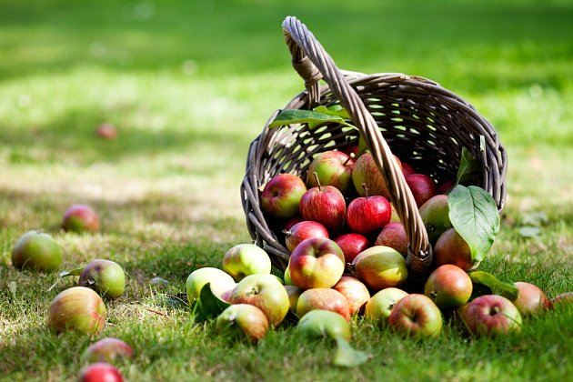Zralá jablka.