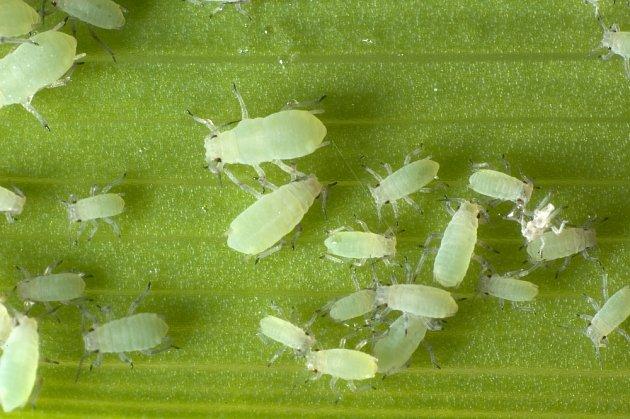 Mšice škodí i na pokojových rostlinách.