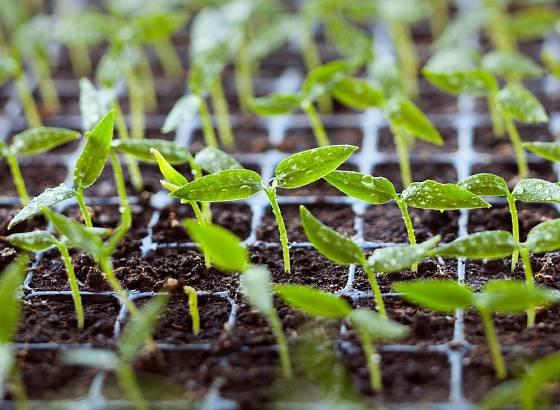 semenáčky paprik v sadbovači