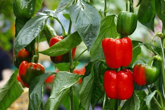 Papriky vyžadují slunce, vodu, výživu a velkoplodé odrůdy i oporu