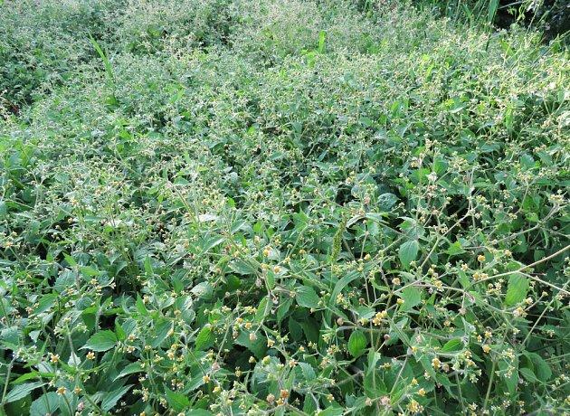 Roste velmi rychle, tudíž za krátkou dobu překryje a zastíní ostatní rostliny