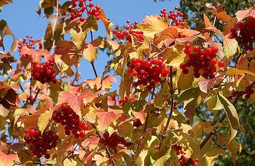 Kaliny jsou krásné i na podzim