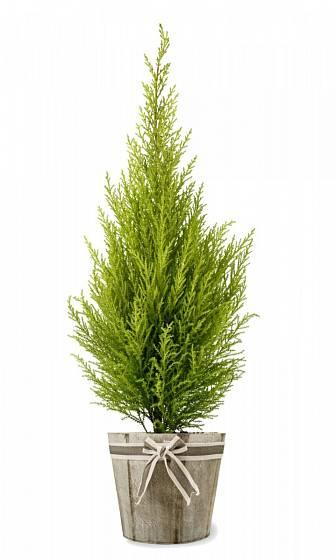 Pokojový cypřišek je aromatický rostlina čistící vzduch v interiéru.