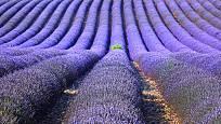 Pro destilaci silice se levadule pěstuje ve velkém