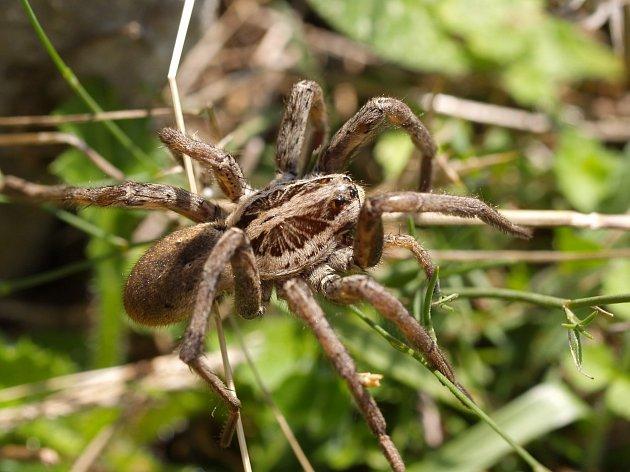 U nás je nevětším pavoukem hrůzostrašně vyhlížející slíďák tatarský.
