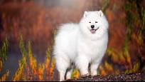 Velmi staré plemeno sibiřského psa.