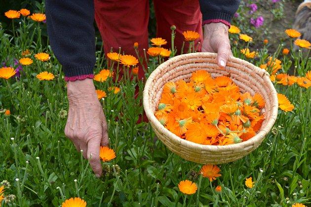 Květy sbíráme za slunného počasí, plně rozvité