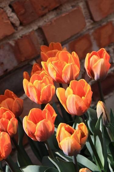 tulipán odrůdy Princess Irene