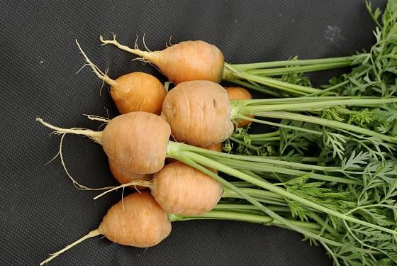 Mrkev odrůdy Rondo