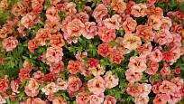 Calibrachoa Can Can Rosies
