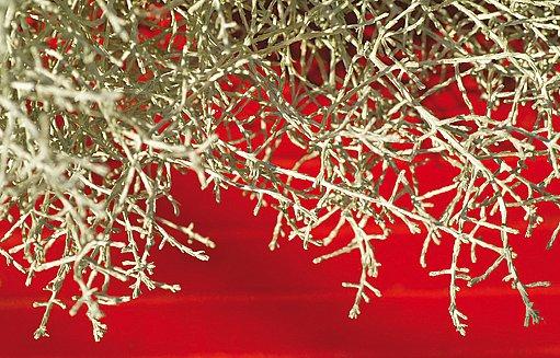 Jakoby bezlisté drátovité větvičky připomínají ostnatý drát nebo vzácný korál