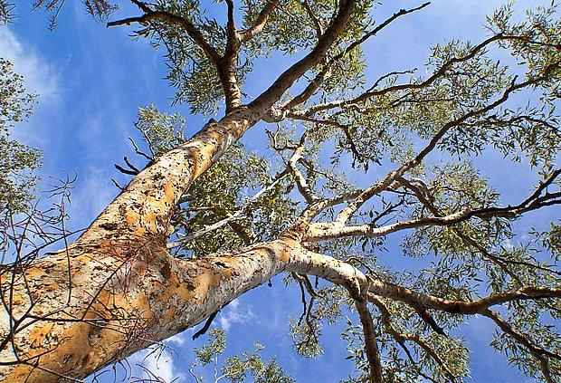 vzrostlé eukalypty jsou krásné stromy