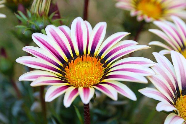 Sluncemilné gazánie patří mezi atraktivní letničky s velikými květy
