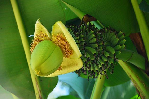 Japonský banánovník (Musa basjoo) je mrazuvzdorný.