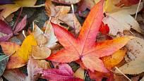 Některé listy na podzim doslova hrají barvami.